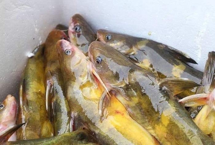 Cá bò sông - đặc sản hiếm có ở miền sông nước sông Đà