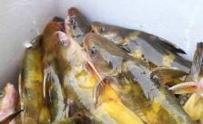 Cá bò sông - món ngon từ miền sông nước